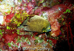 French Angelfish seen in Grand Cayman August 2008.  Photo... by Bonnie Conley 